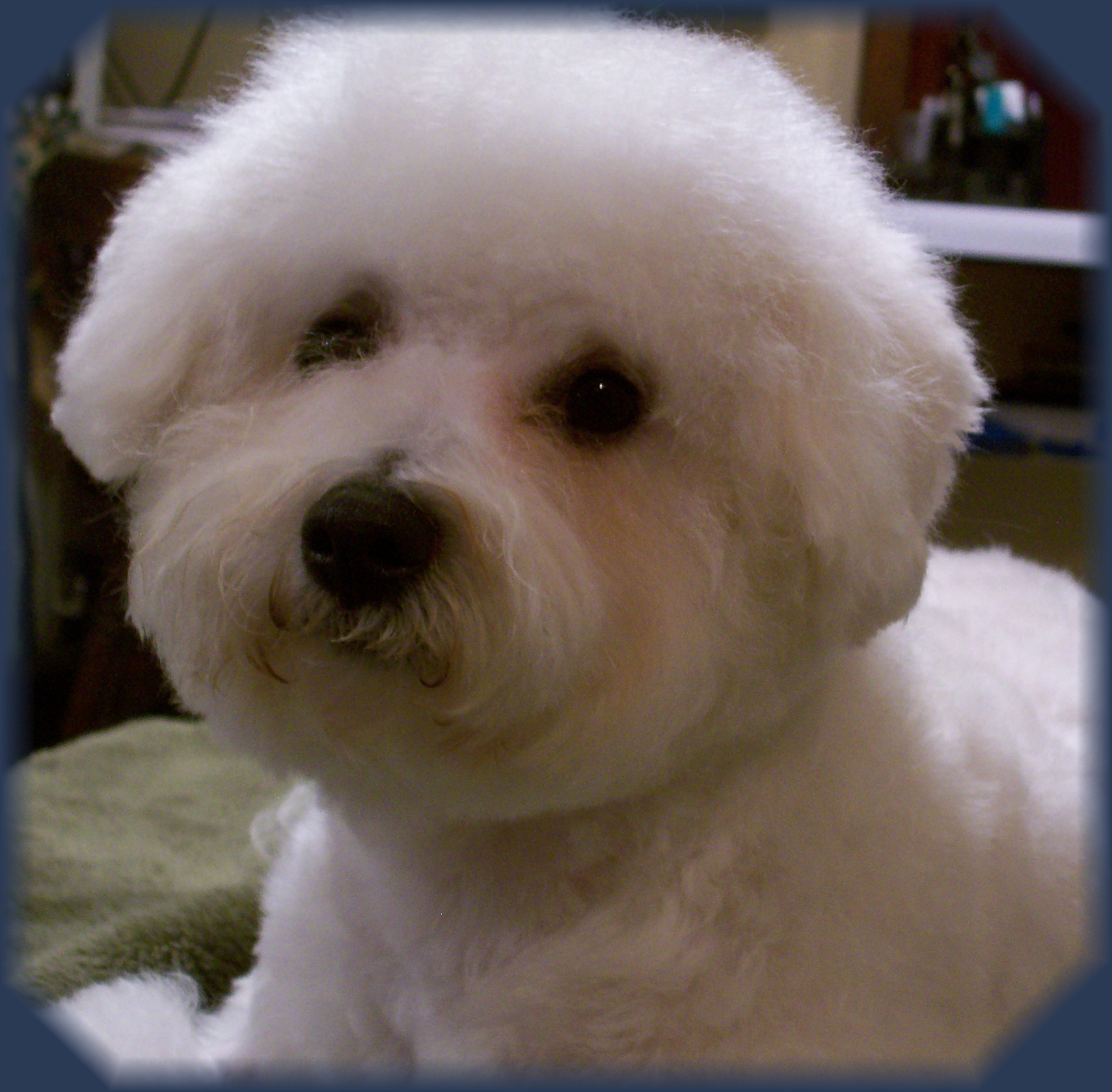 AKC Bichon Frise Puppies | Bichon Frise Breeder in Illinois
