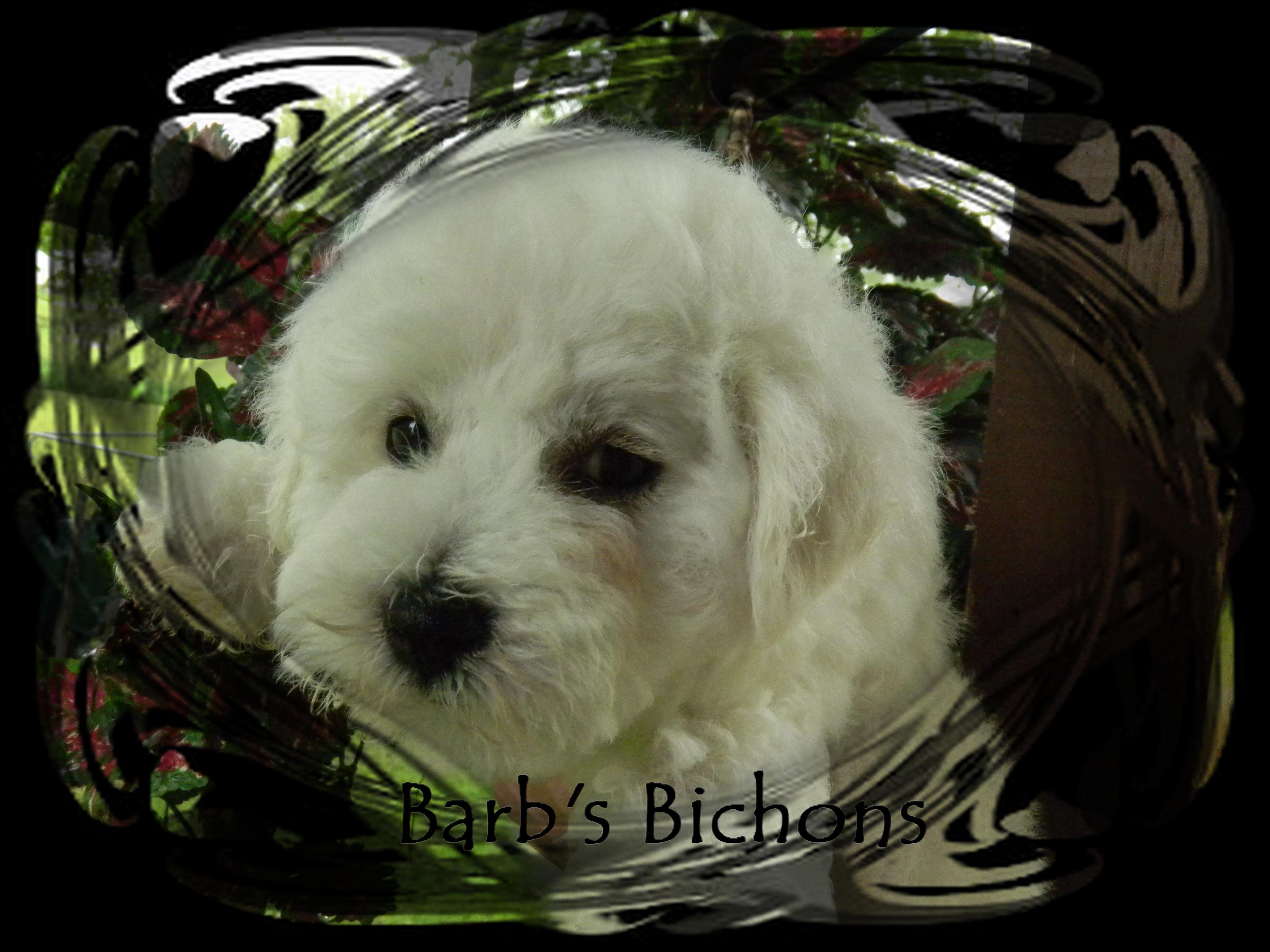 AKC Bichon Frise Puppies | Bichon Frise Breeder in Illinois